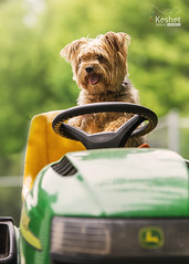 Riding mower (Keshet Kennels & Rescue) Tags: yorkshire terrier mix riding mower lawn john deer summer funny little dog rescue kennel kennels adoption ottawa ontario canada keshet large breed dogs animal animals pet pets field tree forest nature photography