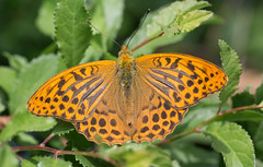 Grand (music_man800) Tags: argynnis paphia silver washed fritillary silverwashed butterfly male insect butterflies lepidoptera orange spots black beautiful pretty large grand perch bask wings open shade sunny day burg eltz cochem germany road path track woods woodland forest rural countryside river mosel moselle valley outdoors outside canon 700d adobe lightroom creative cloud edit sigma 150mm macro prime lens sharp focus roadtrip trip walk hike holidsy deutschland de nature natural