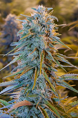 blue-dream-humboldt-seeds (Watcher1999) Tags: blue dream cannabis seeds thc strains california medical marijuana bob marley growing weed smoking ganja reggae legalize it