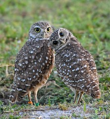 Burrowing Owl 8 11 18-4 (Cecil Ramsey) Tags: birds burrowingowl nature