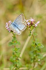 Chalkhill Blue (ianbartlett) Tags: outdoor macro landscape wildlife nature birds butterflies dragonflies cattle flight flowers colour light shadows clouds