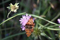 Nymphalidae (esta_ahi) Tags: santmagídelabrufaganya santmagídebrufaganya pontils concadebarberà tarragona spain españa испания lepidoptera insectos fauna mariposa papallona butterfly nymphalidae