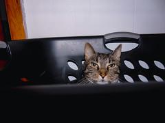 DSC01260 (MykeOwns) Tags: tabbycat tabby cat cats