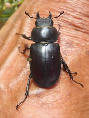 Lucanus cervus (Linnaeus, 1758) - Female stag Beetle (Peter M Greenwood) Tags: lucanuscervus stagbeetle lucanus cervus female stag beetle