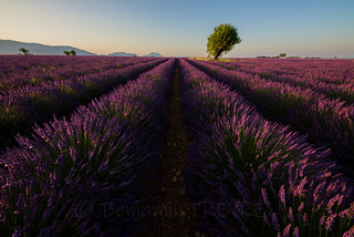 Lonely Tree in a Lavender Field 08/20/2018 Explore First 11K favs