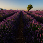 Lonely Tree in a Lavender Field thumbnail
