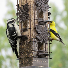 Downy Woodpecker and American Goldfinch (annkelliott) Tags: alberta canada swofcalgary turnervalley garden nature wildlife ornithology avian bird birds downywoodpecker americangoldfinch feeder bokeh outdoor summer 16august2018 canon sx60 canonsx60 annkelliott anneelliott ©anneelliott2018 ©allrightsreserved