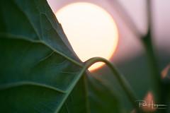 Leaf and sun (PaulHoo) Tags: nikon d750 macro closeup sun backlit mijdrecht summer 2018 nature evening abstract fineart plant leaf sunset dof bokeh