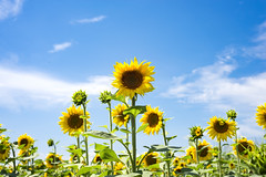 The charming landscape of sunflowers against the sky. Sunflowers garden. (lyule4ik) Tags: agriculture background beautiful blossom field flower green growth landscape meadow natural nature plant rural summer sunflower sunlight sunny yellow beauty blooming closeup colorful country farming flora leaf orange sky vibrant bright circle petal floral sun blue outdoor outside season garden pollen botany crop farm seeds spring organic seed cheerful environment