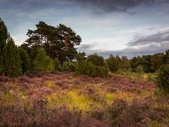 Heather in golden hour (Fred Veenkamp) Tags: landscapephotography landschapsfotografie landscape landschap overijssel buursermeertje eveninglight twilight avondlicht goud gold goudenuur goldenhour heide heather