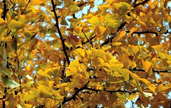 When the Ginko turns (flowrwolf) Tags: 118picturesin2018 118in2018 118 105for118in2018 autumncolour fallcolour ginkotree ginkotreeinautumn ginko tree nature naturallight thegreatoutdoors leaf leaves branch branches stems treebranches sky bright vivid sonya65 flowrwolf