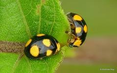 Little lady beetles, Brachiacantha bistripustulata? Coccinellidae (Ecuador Megadiverso) Tags: andreaskay beetle brachiacanthabistripustulata coccinellidae coleoptera ecuador focusstack