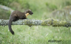 Pine Marten (Alastair Marsh Photography) Tags: pine pinemarten pinemartens pinemartenkit pinemartenkits kit kits baby babymammal babyanimal babyanimals animal animals animalsintheirlandscape wildlife britishwildlife britishanimals britishanimal britishmammals britishmammal scotland scottishwildlife scottishmammals scottishmammal scottishhighlands forest woodland woods wood