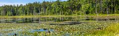 Water Lilies (Me in ME) Tags: georgetown maine icepond waterlilies bog panorama
