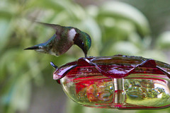 Ruby on the Sugar Water (brucetopher) Tags: hummingbird hummer green bird tiny little small birds birding birdwatching watch watching avian animal wild wildlife newengland newenglandbirds birdfeeder seeds feeder feeding feed eat nectar sweet sugar sugarwater water drink hover