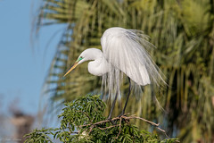 Great Egret (Linda Martin Photography) Tags: us ardeaalba florida gatorland wildlife greategret animal nature alittlebeauty coth coth5 ngc