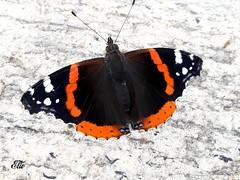 Farfalla (elio_50) Tags: farfalla natura nature butterfly wonderfulworld
