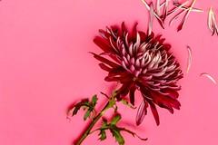 PINK (hoffler_pictorials) Tags: hofflerpictorials samyangaf35mmf28 subtle soft lovely delicate green purple petals stilllife emountlens sonyilce7rm2 flowers pink nature samyang sony