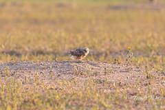 Female Burrowing Owl with breakfast
