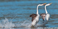 Rushing Clark's Grebes (Let there be light (A.J. McCullough)) Tags: birds oregon klamathfalls grebe clarksgrebe rushing dancinggrebes courtship featheryfriday