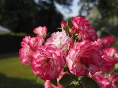 2018:06:10 17:26:09 - Garden Flower Bokeh - Tarbek - Schleswig-Holstein - Deutschland (torstenbehrens) Tags: garden flower bokeh tarbek schleswigholstein deutschland olympus penf m17mm f18
