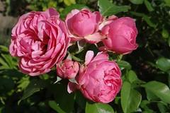 Rosen (Gartenzauber) Tags: coth coth5 alittlebeauty fantasticnature thesunshinegroup floralfantasy doublefantasy natur sony garten naturethroughthelens ngc npc