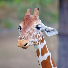 EOS 6D Mark II_1843 (Dave Melling) Tags: zoo reticulatedgiraffe brno somaligiraffe giraffacamelopardalisreticulata giraffe