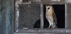 R18_2281-Pano-2 (ronald groenendijk) Tags: cronaldgroenendijk 2018 rgflickrrg tytoalba animal barnowl bird birds copyrightronaldgroenendijk europe holland kerkuil nature natuur natuurfotografie netherlands outdoor owl owls ronaldgroenendijk uil uilen vogel vogels wildlife