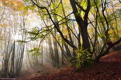 Morning ecstasy (Hector Prada) Tags: forest bosque luz light autumn otoño fog niebla leaves hojas dreamy paísvasco basquecountry