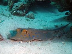 P1-008563 (charlesvanlangeveld) Tags: bluespottedstingray taeniuralymma stinray redsea marsaalam egypt fish portraits underwater rog scubadiving portghalib