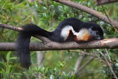 Prevost's Squirrel (Callosciurus prevostii rafflesii) (Seventh Heaven Photography) Tags: prevosts squirrel callosciurus prevostii rafflesii callosciurusprevostiirafflesii animal rodent nikond3200 chester zoo cheshire tree mammal