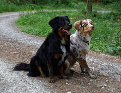 Amie and Ole (wolf4max) Tags: dog nature animal dogs australianshepherd