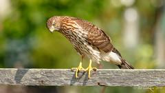 Cooper's Hawk (Bob Gunderson) Tags: accipiters acciptercooperii birds birdsofprey california coopershawk fortmason northerncalifornia sanfrancisco