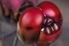 (James MOLS) Tags: dragonfly rrm extensiontube complexeye reflections insects hair red dof