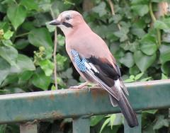 Eurasian Jay (Garrulus glandarius) (marksargeant57) Tags: gate ivy canonpowershotsx60hs gardenbird crow corvid jay garrulusglandarius eurasianjay