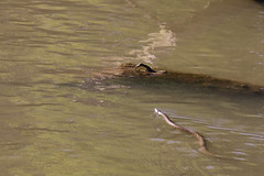 Snake Swimming in the Cottonwood River - Cottonwood Falls, Kansas (BeerAndLoathing) Tags: snake river summer 2017 roadtrip reptiles kansas 77d water colorado trip wildlife canon eclipsetrip august usa canoneos77d