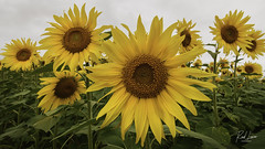 Eguzkilore (Raul Piki Bolukua) Tags: sunflowers girasol eguzkilore summer sun uda araba alava otazu landscape paisaje euskalherria paísvasco basquecountry color
