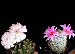 gymnocalycium anisitsii + mammillaria boolii (magnitferro) Tags: cactus gymnocalycium anisitsii mammillaria boolii flower