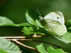 Small White Butterfly (LouisaHocking) Tags: nature wild wildlife insect minibeast small white butterfly