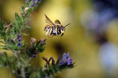 Große Wollbiene (JS Highspeed Photography) Tags: flight fly flying flug fliegend insect insekt insekten insektenflug highspeed kurzzeit lichtschranke light beam macro makro pqs bee biene wollbiene anthidium manicatum