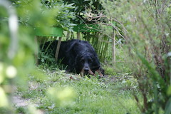 Shaggie 107 (reimo.zoober) Tags: gordon setter dog