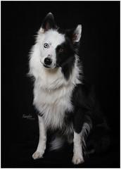 Camera Hog (Rainfire Photography) Tags: portrait studio dog bordercollie splitface heterochromia beautiful nikon d7200 bowens pet pro