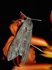 Agrius convolvuli - Sphinx du liseron - Sphingidae - COURS 34 - FRANCE (michel-candel) Tags: agrius convolvuli sphinx du liseron sphingidae cours 34 france