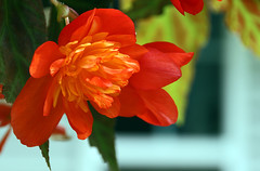 rose begonia (scott1346) Tags: flower petals colors orange green yellow beauty light morning canont3i illumination floral shadows macro hangingplanter 1001nights 1001nightsmagiccity 1001nightsmagicgarden autofocus thegalaxy