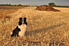 Meine kleine Abendsonne (Uli He - Fotofee) Tags: ulrike ulrikehe uli ulihe ulrikehergert hergert nikon nikond90 fotofee fleur sheltie shetlandsheepdog