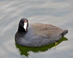 DSCN8116 (danimaniacs) Tags: disneyland animal duck water