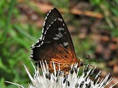 Dull Firetip (d_taron) Tags: unitedstates arizona butterflies hesperiidae pyrrhopyginae apyrrothrix apyrrothrixaraxes
