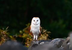 Twit t Woo you looking at (Andrew-Jackson) Tags: owl birdsofprey barnowl wildlife nature