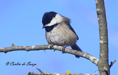 Chickadee (careth@2012) Tags: nature wildlife britishcolumbia careth2012 chickadee feathers perched branch nikon d3300 nikond3300 55300mm