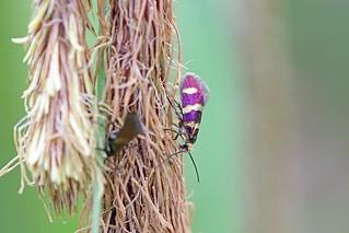 Micropterix aureatella, Roudsea, Cumbria, England